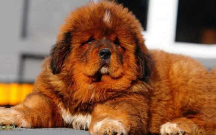 Порода собак тибетский мастифф является служебной