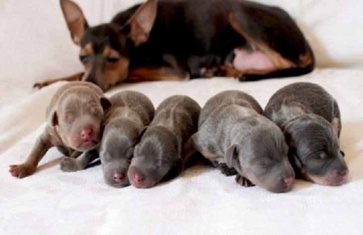 Той-терьеры – это миниатюрные, декоративные собачки