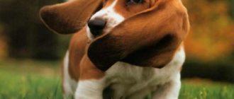 Уши собак требуют к себе определенного внимания