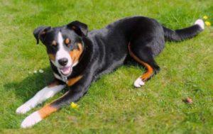 Собаки являются самыми маленькими из всех швейцарских пород