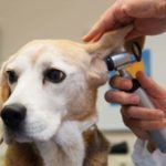 Уши каждой собаки нуждаются в регулярном осмотре
