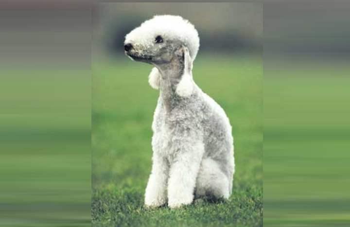 Собака с шерстью как человеческий волос
