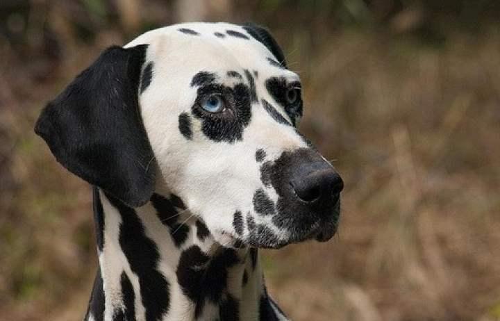 Собаки далматинцы имеют большой запас энергии, который необходимо компенсировать длительными прогулками и играми.
