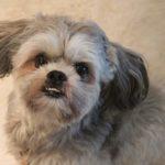 Отзывы о породе собак ши-тцу