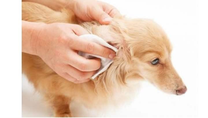 Некоторым породам собак даже необходимо удалять шерсть внутри ушной раковины
