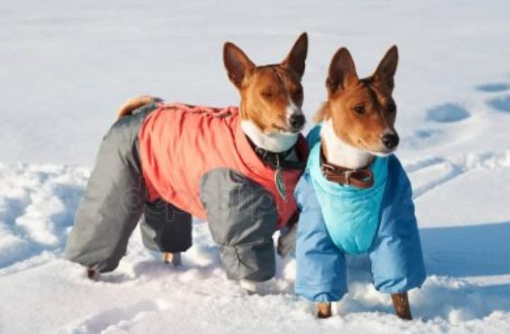 Кроме этого, собаки этой породы удивительны тем, что не умеют лаять. Тем не менее, они любят поболтать, издавая различные звуки.
