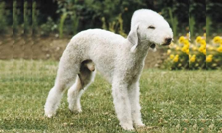 Главным образом собаки этой породы отличаются короткой вьющейся шерстью