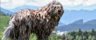 Из-за необычного шерстяного покрова, уход за собак значительно усложняется.
