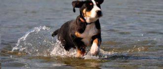 Взрослая собака должна знать людей, и не реагировать агрессивно на незнакомцев