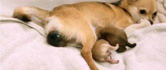 Признаки родов у собак разделены по стадиям