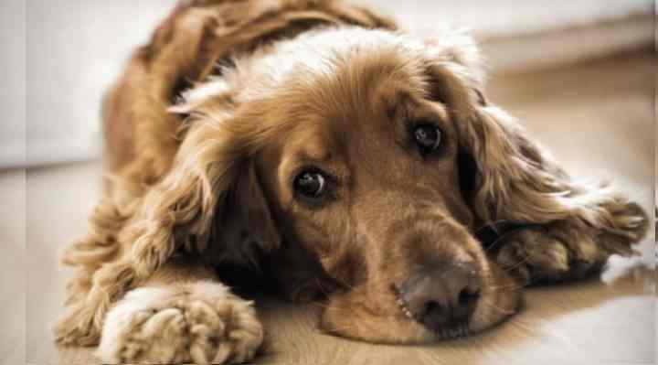 Только четверть собак, имеющих подобное проявление инфекции, способны к выздоровлению