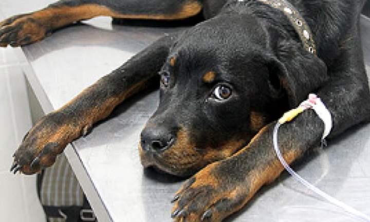 Зараженные паразитами собаки, особенно опасны глисты.