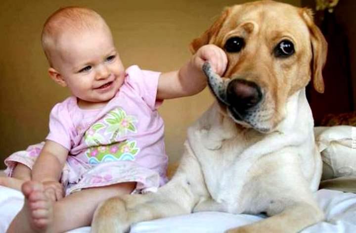 Эти собаки очень привязаны к семье, поэтому они готовы заниматься любым делом, главное всем вместе.