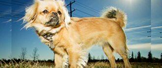 Про последних мы и поговорим в этой статье, прочитав которую, вы узнаете, какие есть самые смешные собаки - топ 7.