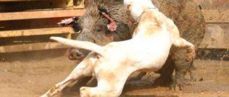 Результатом успешной работы стали собаки породы гуль донг