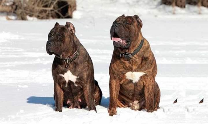 Собаки этой породы очень мускулисты