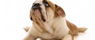 Если вы заметили, что собака скулит во время выпрашивания вкусностей