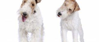Порода собак фокстерьер является охотничьей