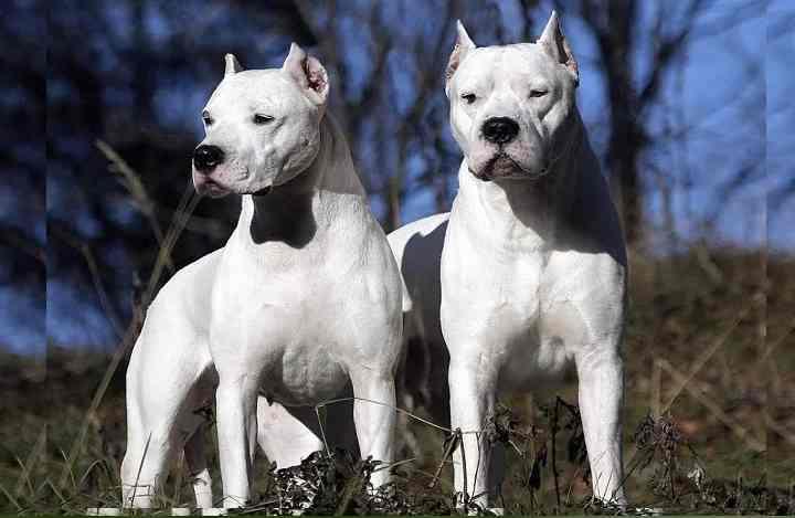 Крупная белая собака порода которой была выведена для охоты на крупную дичь.