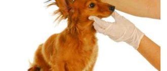 Ушной клещ у собак не передается человеку