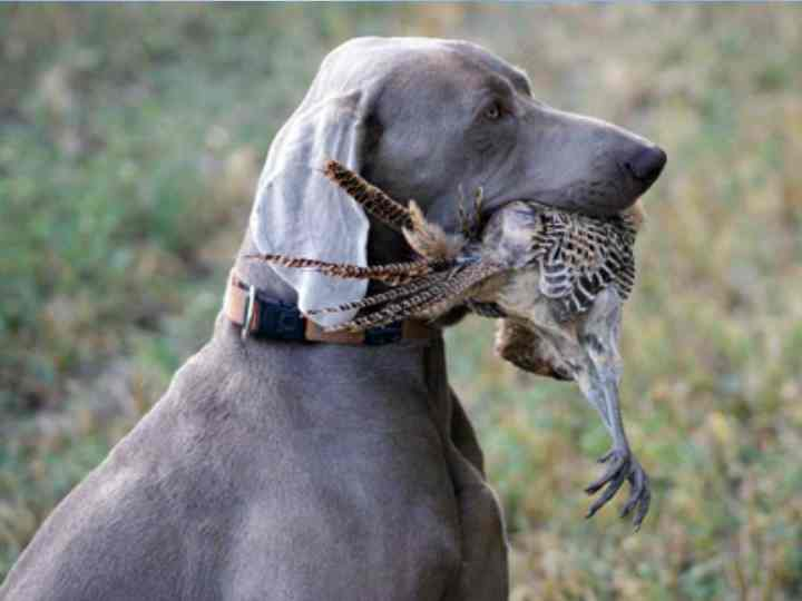 Прежде чем обучать щенка