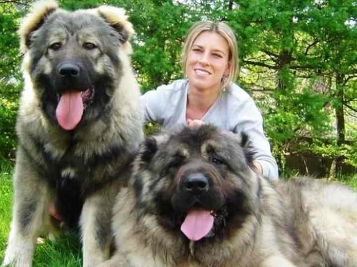 Кавказские овчарки являются одними из самых крупных Российских пород собак.