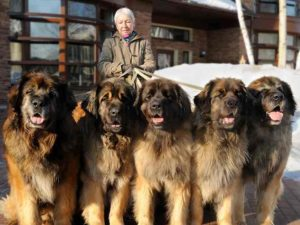 Огромные породы собак имеют как плюсы и минусы.