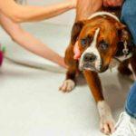 Если собака склонна к эпилептическим припадкам