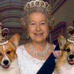 Сейчас порода собак вельш корги делится на два подвида: пемброк и кардиган