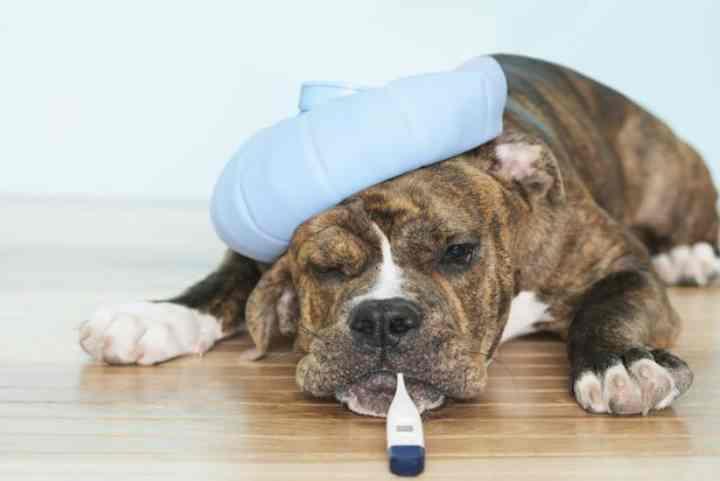 Чем старше собака, тем ниже ее иммунитет