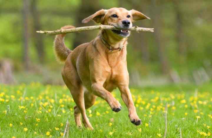 собаке необходимо дать обнюхать тренировочный инвентарь
