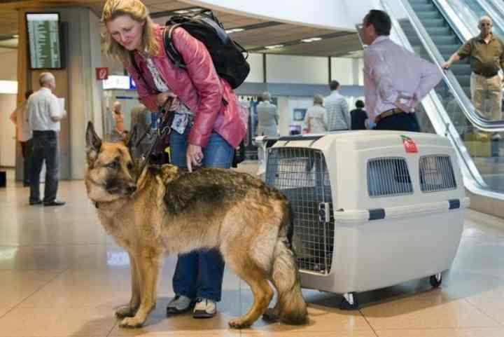За неделю до перелёта начните давать собаке лёгкие успокоительные