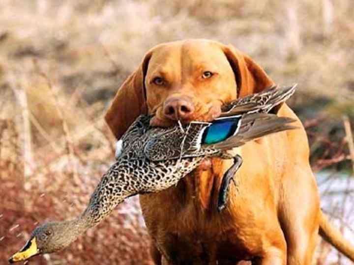 Первостепенные команды при дрессировке охотничьих собак